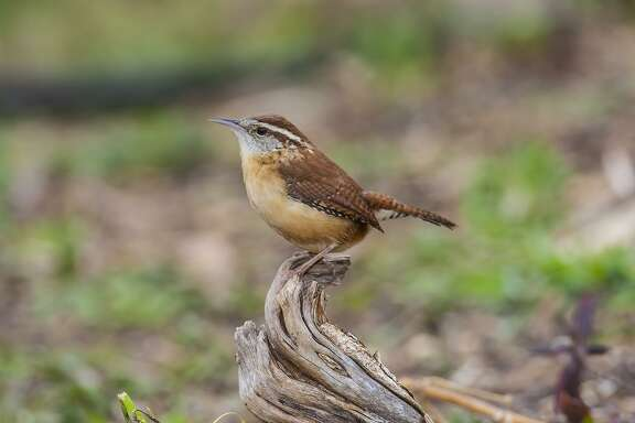 Carolina wrens duet, or call back-and-forth, for a variety of reasons.