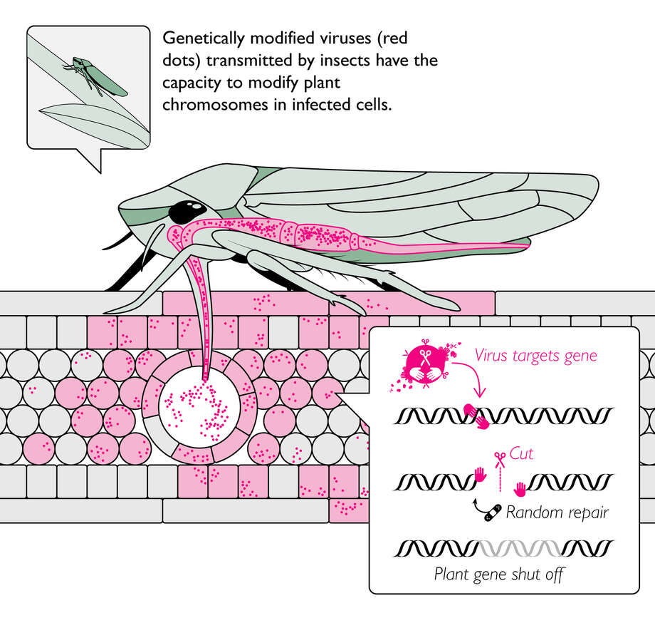 """Weaponized insects. A US military research program run by DARPA is spending millions to find ways to use insects to inject modified genes into plants, after they've started growing. """"Such an unprecedented capability would provide an urgently needed alternative to pesticides, selective breeding, slash-and-burn clearing, and quarantine, which are often ineffective against rapidly emerging threats and are not suited to securing mature plants,"""" DARPA writes. The program is called Insect Allies, and DARPA says it'll stay in protected labs. Editing plants genes in the field--as opposed to editing genes in a seed and living with what grows--with insects? What could possibly go wrong? Photo: Derek Caetano-Anolles / Permission By The Max Planck Institute For Evolutionary Biology"""