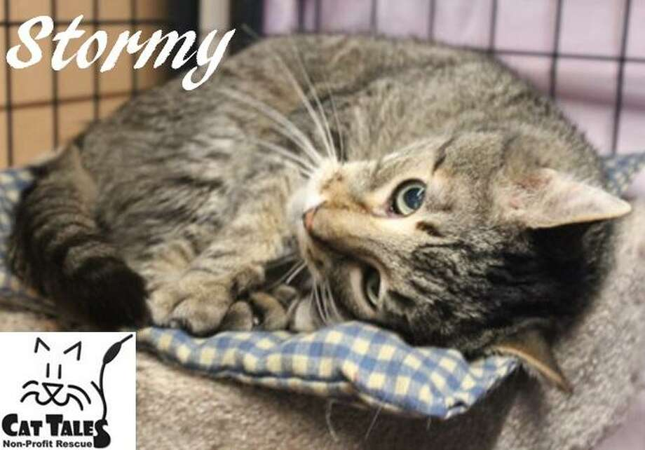 """Stormy is a 12-year-old brown tabby. He says, """"I'm such a sweet and affectionate kitty and I just love getting attention once I know you. I need a quiet home with a very patient person who is willing to give me as much time as I need to adjust. I'd love to curl up with you on the couch or bed. Please adopt me."""" Visit http://www.CatTalesCT.org/cats/Stormy, call 860-344-9043 or email: info@CatTalesCT.org. Watch our TV commercial: https://youtu.be/Y1MECIS4mIc Photo: Contributed Photo"""