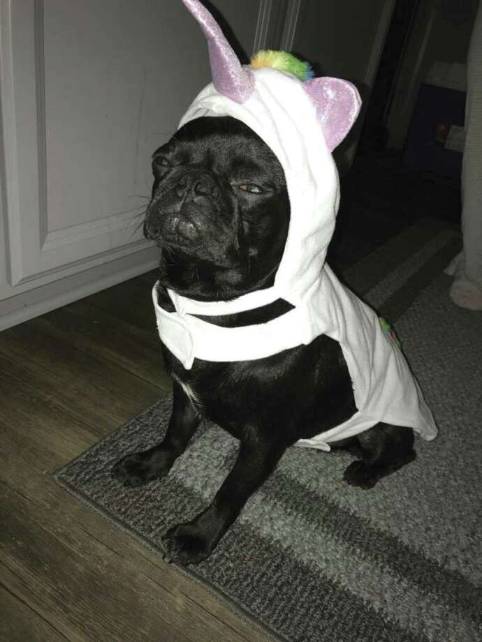 Molly, the flat-faced pug, wearing her unicorn costume.