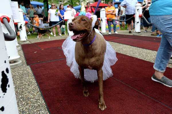 An adoptable dog from Beaumont Animal Care on display during Dogtoberfest on Saturday. Photo taken Saturday 10/13/18 Ryan Pelham/The Enterprise