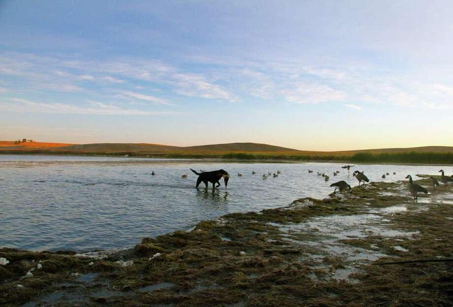 An icy, clear October dawn breaks over the North Dakota prairie as 111/2-year-old Labrador Bella retrieves a drake mallard from one of the natural potholes that pock the northern plains and support a stunningly rich variety of wetland-dependent wildfowl and wildlife. Photo: Shannon Tompkins / Houston Chronicle