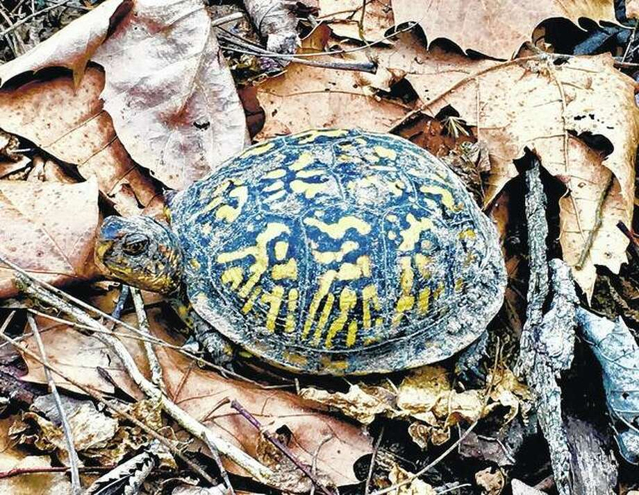 A tortoise takes a leisurely fall stroll in the woods.
