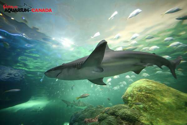 """A tiger shark swims in the """"Dangerous Lagoon"""" at Ripley's Aquarium of Canada in Toronto."""