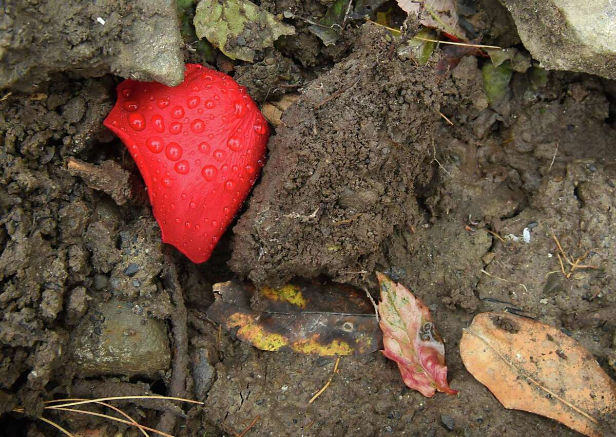 A rose petal with rain drops is seen on rocks next to a growing memorial for the Schoharie limo crash victims at the site of the accident next to the Apple Barrel Store on Monday, Oct. 15, 2018 in Schoharie, N.Y. (Lori Van Buren/Times Union)