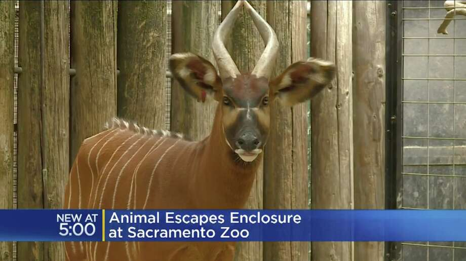 An endangered Eastern bongo calf escaped from its zoo enclosure over the weekend. Photo: CBS Sacramento