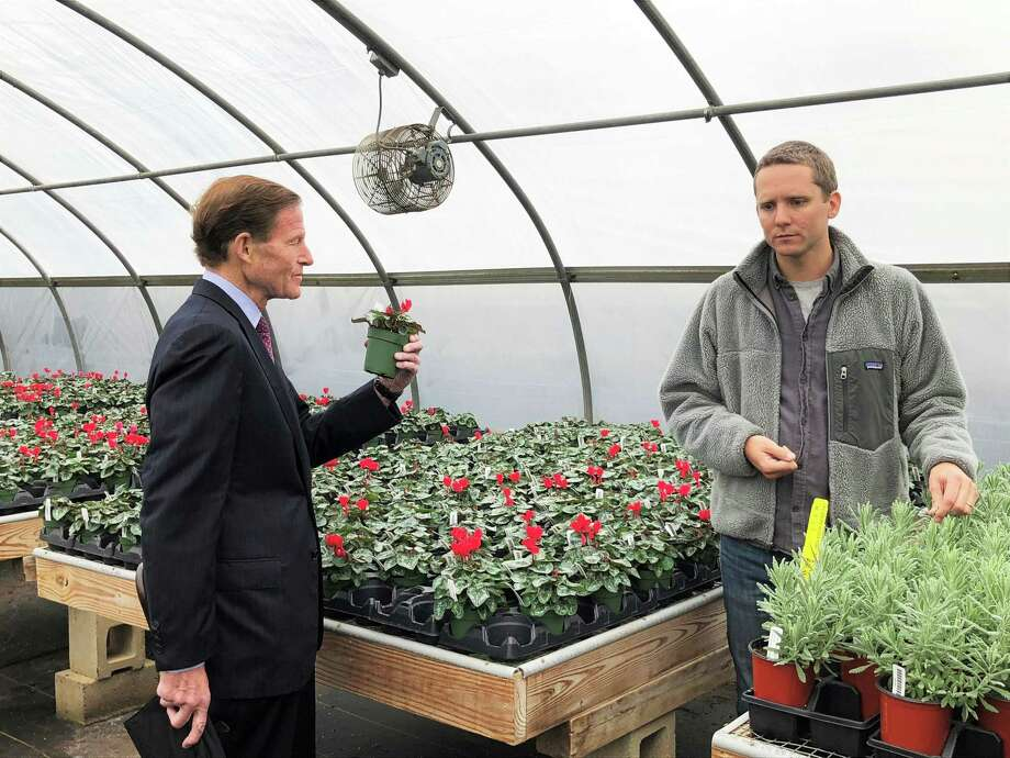 Senator Richard Blumenthal D-Conn. picks up a cyclamen plant while Eliot Wadsworth, vice president of marketing for White Flower Farm in Litchfield County, talks about how their solar power array will provide electricity for their greenhouses. Photo: Leslie Hutchison / Hearst Connecticut Media /
