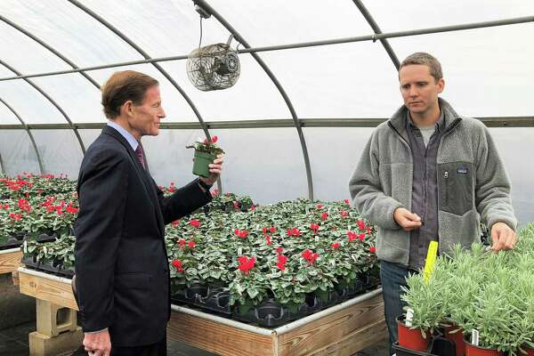 Senator Richard Blumenthal D-Conn. picks up a cyclamen plant while Eliot Wadsworth, vice president of marketing for White Flower Farm in Litchfield, talks about how their solar power array will provide electricity for their greenhouses.