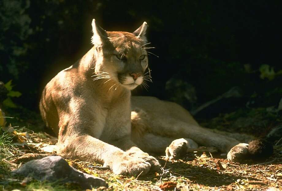 A file photo of a mountain lion. Photo: Ca. Fish & Wildlife Dept.