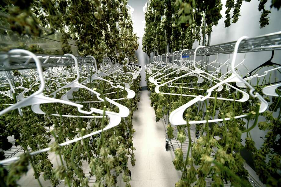 The drying room of the medical marijuana production facility, Advanced Grow Labs in West Haven, Connecticut, September 15, 2015. Advanced Grow Labs is one of four legalized growers of marijuana in Connecticut for the palliative use of pharmaceutical quality marijuana by Connecticut's healthcare system and its dispensaries for qualifying patients. Photo: Peter Hvizdak / ©2015 Peter Hvizdak