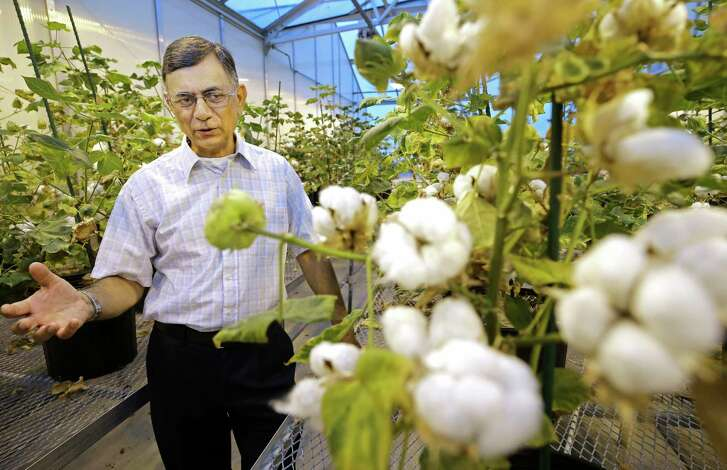 Keerti S. Rathore, a professor with the Institute for Plant Genomics & Biotechnology at Texas A&M AgriLife, talks about cotton in a laboratory greenhouse.