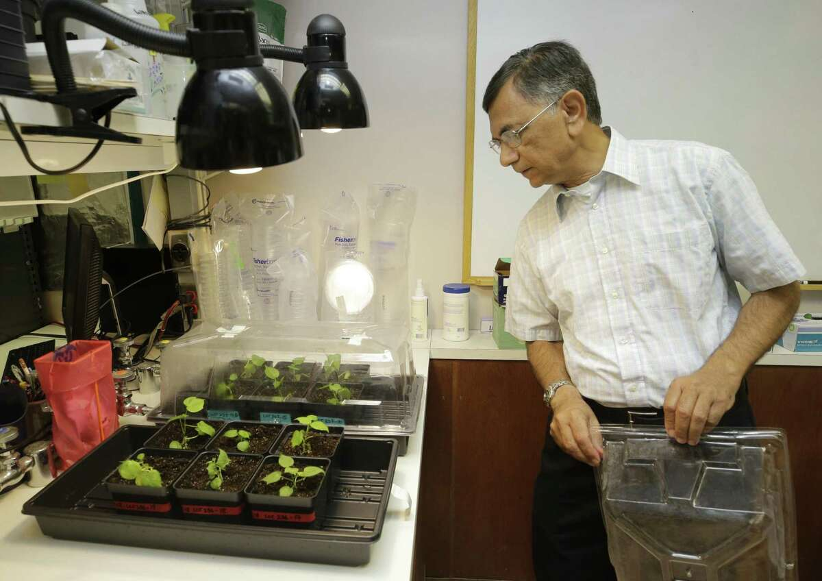 Keerti S. Rathore, a professor with the Institute for Plant Genomics & Biotechnology at Texas A&M AgriLife, looks at cotton plantlets in the laboratory.