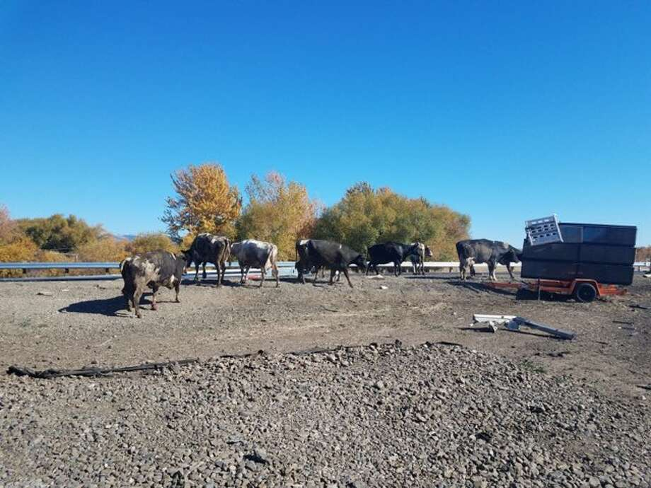 Cattle were loosed on the freeway after a tractor-trailer overturned in Oregon Tuesday, according to police. Photo: Oregon State Police