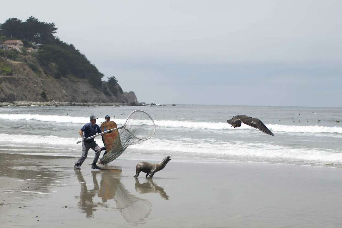 Members of Sausalito's Marine Mammal Center respond to a call of a sick sea lion which was acting erratically at Linda Mar Beach in Pacifica, Calif. on August 17, 2018.