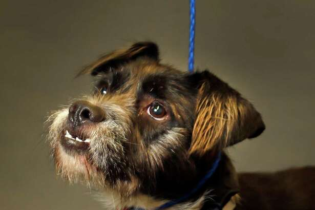 BUDDY (Animal ID: A1588120) Buddy is a male, black/white, 1-year-old Schnauzer mix and is available for adoption from BARC. Photographed on Wednesday, Oct. 17, 2018, in Houston.