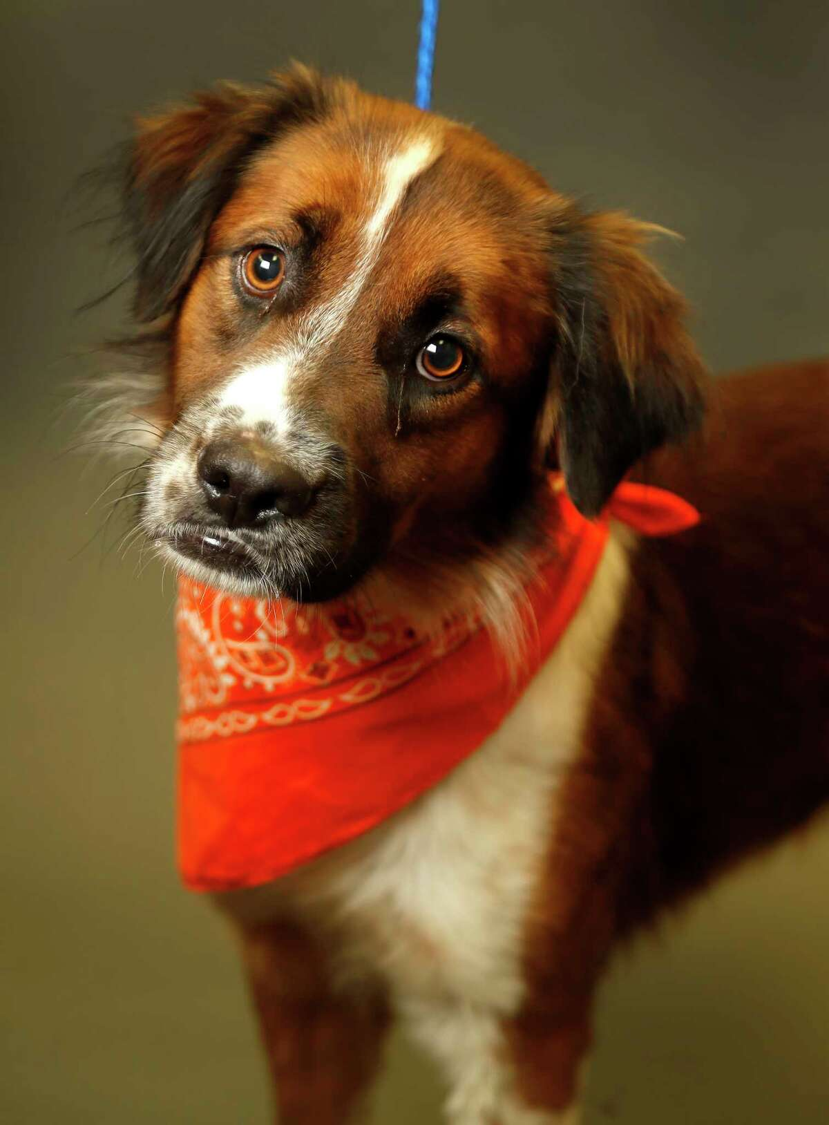 BENJI (Animal ID: A1587020) Benji is a male, tricolor/white, 1-year-old Border Collie mix and is available for adoption from BARC. Photographed on Wednesday, Oct. 17, 2018, in Houston.