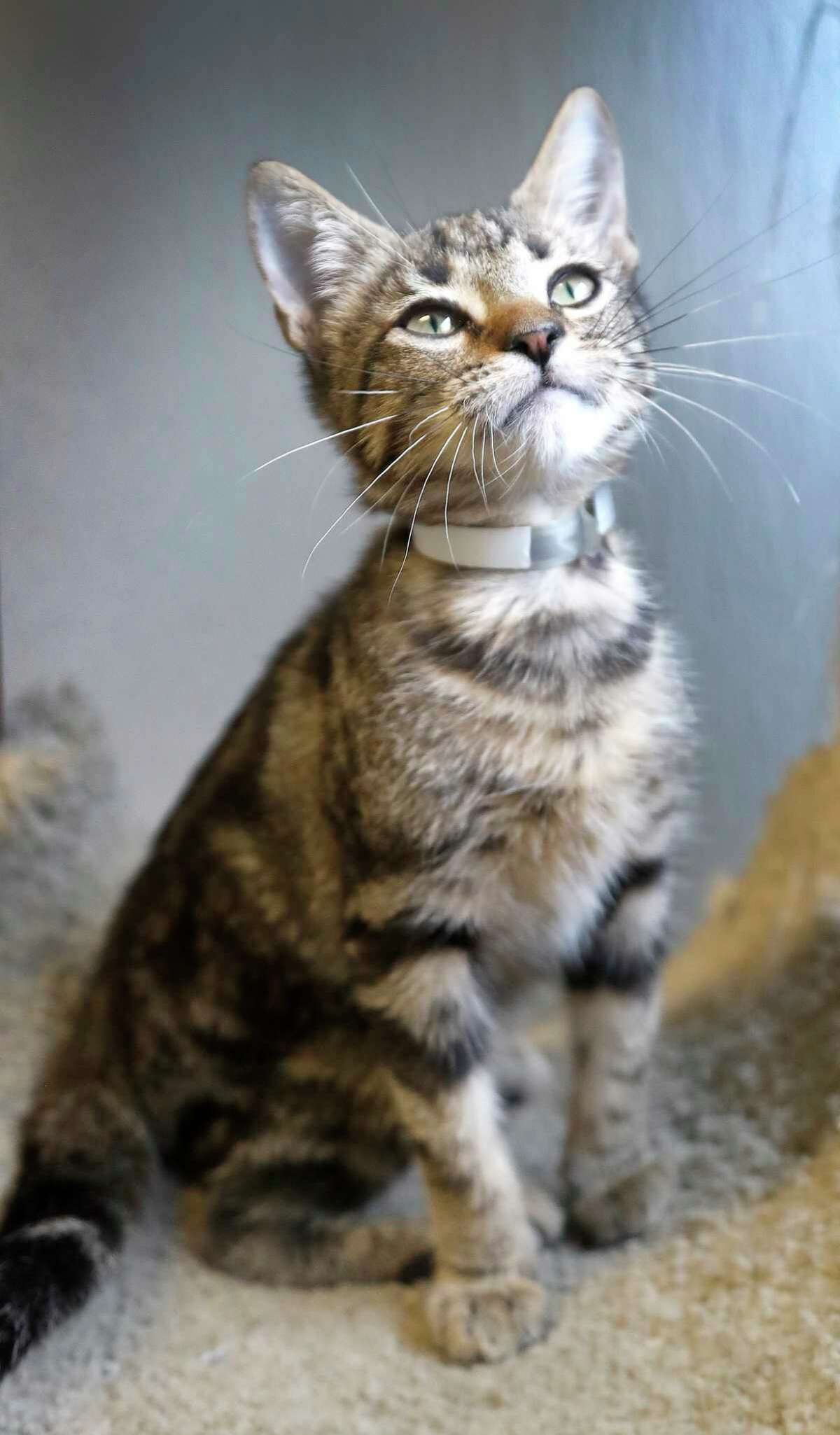 NATHAN (Animal ID: A1581308) NAthan is a 14-week-old neutered male brown tabby Domestic Short Hair mix who is available for adoption from BARC. Photographed on Wednesday, Oct. 17, 2018, in Houston.