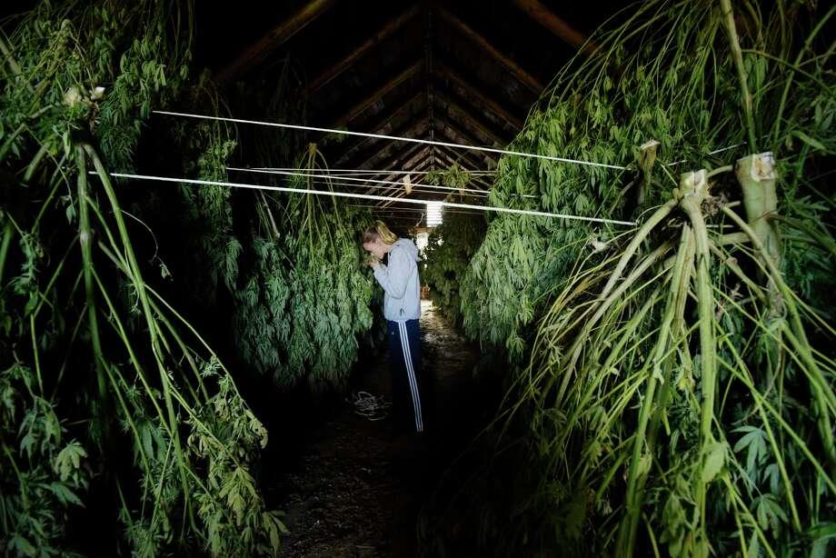 Salem sisters harvest hemp to save family farm - Times Union