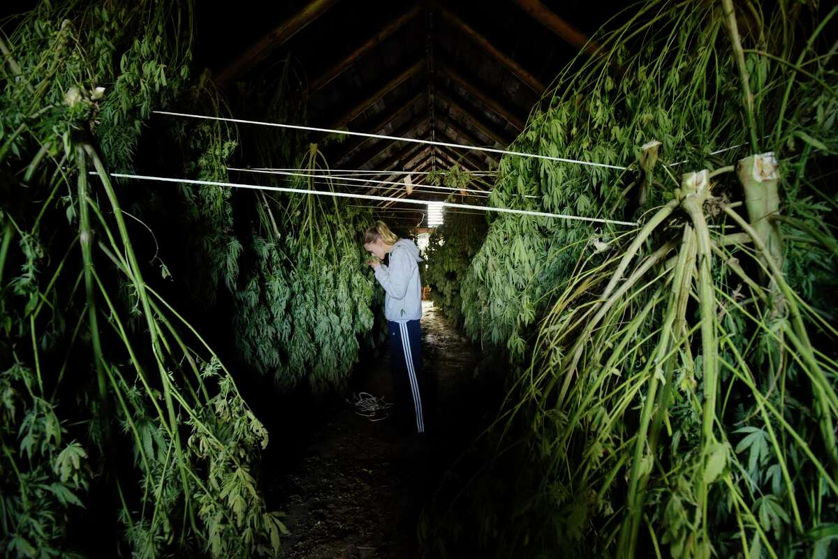 Iris Rogers checks on some of the hemp plants hanging in one of the barns at her farm on Tuesday, Oct. 16, 2018, in Hebron, N.Y. The hemp plants need to dry out before being sent to be processed. Rogers and her sister Sarah Rogers Murphy are harvesting their first crop of hemp plants. Some of the plants will be used for CBD oil. (Paul Buckowski/Times Union)