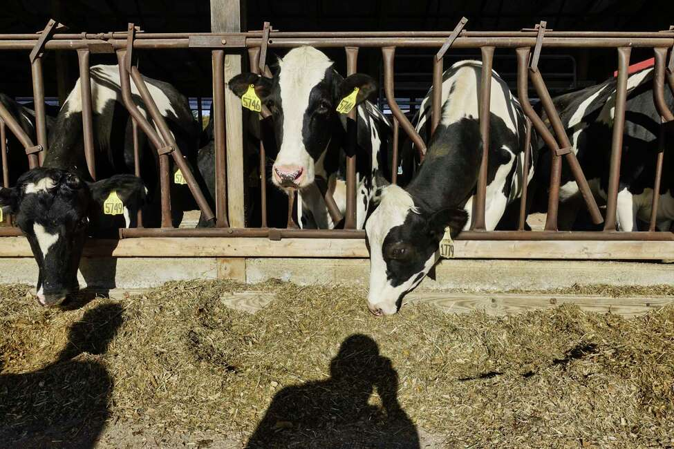 Cows feed at Battenkill Valley Creamery on Tuesday, Oct. 16, 2018, in Salem, N.Y. (Paul Buckowski/Times Union)