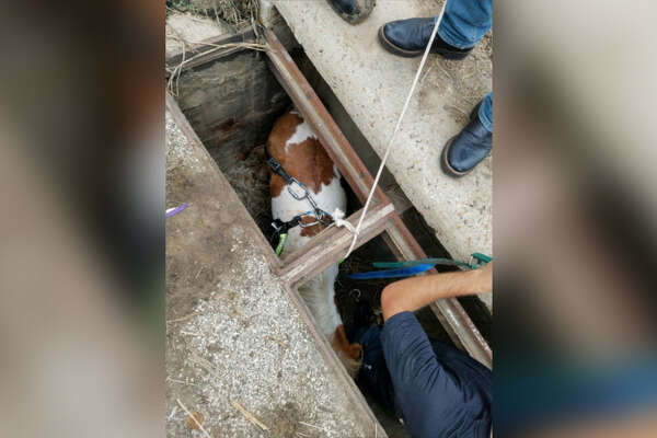Houston firefighters rescue a pony stuck in a storm drain Wednesday, Oct. 17, 2018.