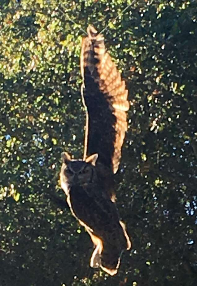 A great horned owl found itself tangled in kite string Monday, before being rescued by officials in Woodside, Calif. Photo: Courtesy Peninsula Humane Society & SPCA