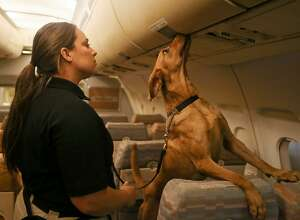 Derby, a 2 1/2-year-old Labrador Retriever, locates explosives in an overhead compartment while working with trainer Nicole Osterman from San Juan, Puerto Rico in a wide aircraft exercise during a behind-the-scenes look at the Transportation Security Administration's explosive-detection K9 training center at Lackland Air Force Base on Wednesday, Oct. 17, 2018.