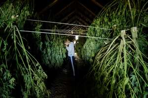 Iris Rogers checks on some of the hemp plants hanging in one of the barns at her farm on Tuesday, Oct. 16, 2018, in Hebron, N.Y. The hemp plants need to dry out before being sent to be processed. Rogers and her sister Sarah Rogers are harvesting their first crop of hemp plants. Some of the plants will be used for CBD oil.   (Paul Buckowski/Times Union)