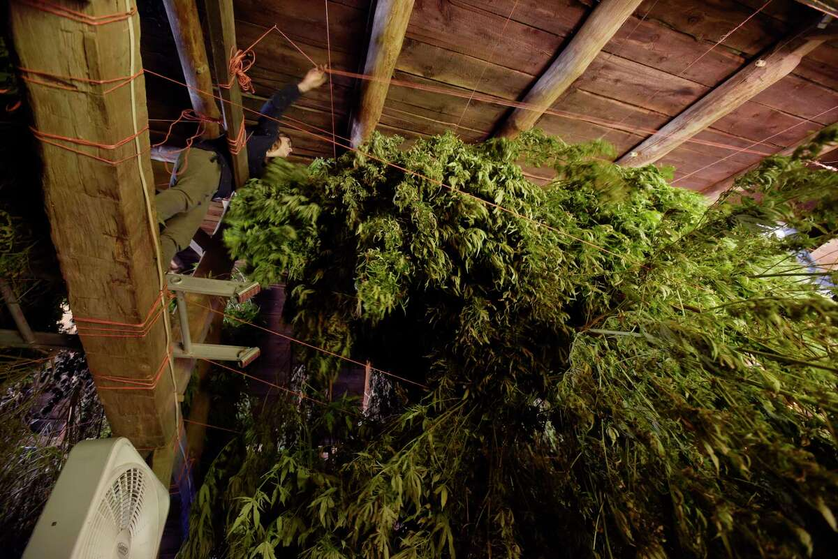 Sarah Rogers climbs into the rafters of a barn to hang hemp plants at her farm on Tuesday, Oct. 16, 2018, in Hebron, N.Y. The hemp plants need to dry out before being sent to be processed. Rogers and her sister Iris Rogers are harvesting their first crop of hemp plants. Some of the plants will be used for CBD oil. (Paul Buckowski/Times Union)