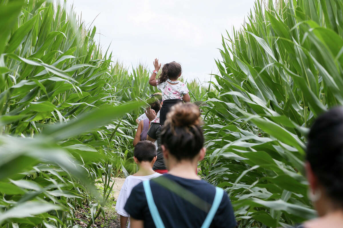 Aliyah Leeper, 3, sits atop her mother's shoulders as they navigate the trails in the Traders Village Corny Maze, the only one of its kind within the San Antonio City limits, on Sunday, Oct. 14, 2018. The maze covers ten acres adjacent to Traders Village at 9333 S.W. Loop 410 and also features a pumpkin patch and a petting zoo.