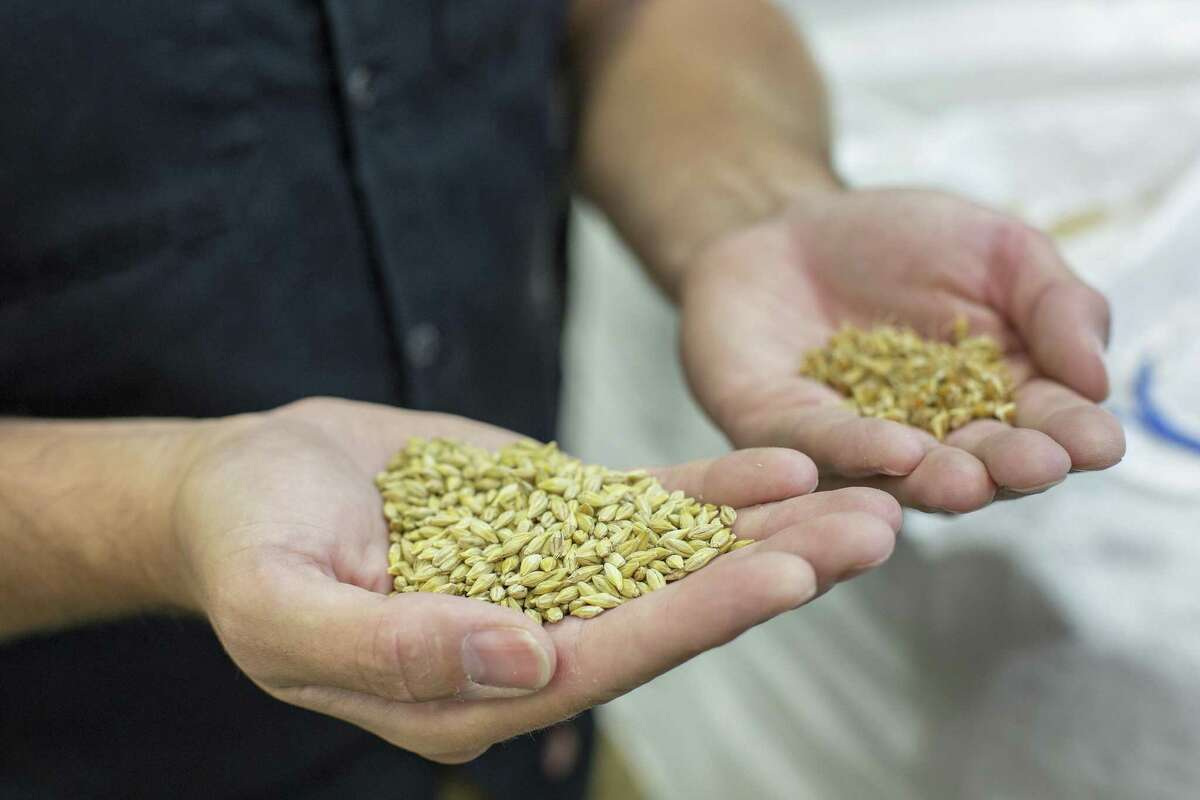 Brandon Ade, founder of Blacklands Malt, compares raw barley against green malt consisting of hard red winter wheat that was in the germination process while in the grain room at Blacklands Malt in Leander.