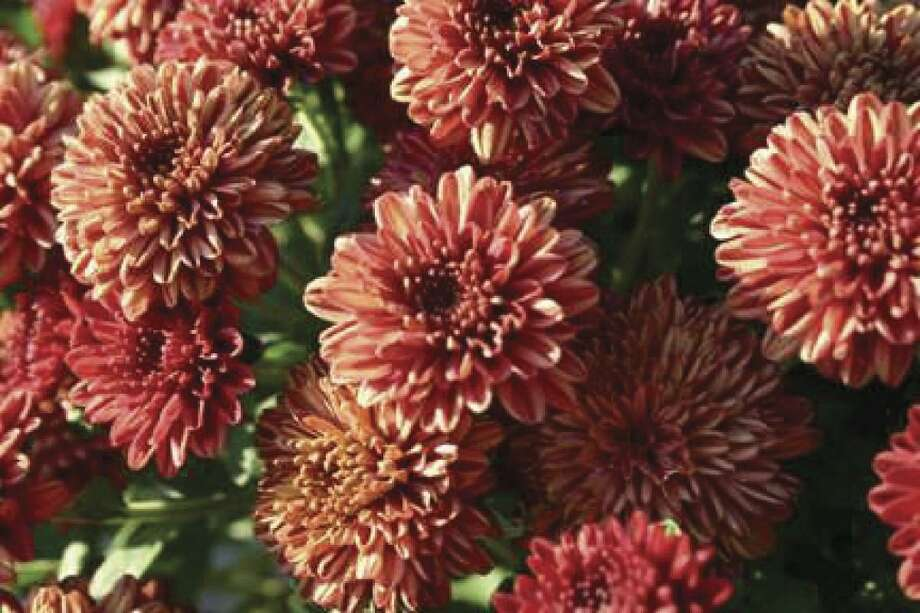 Mums are a beautiful and versatile plant that can enhance any fall garden. As our summer flowers wilt and blooms begin to fade and die away, mums offer a variety of colors that keep our gardens interesting and colorful.