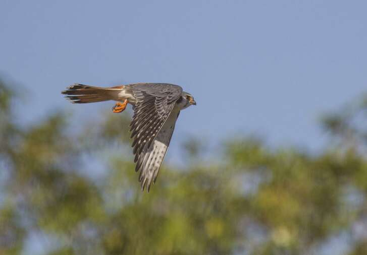 American kestrels are small falcons. They winter in our area. Photo Credit: Kathy Adams Clark. Restricted use.