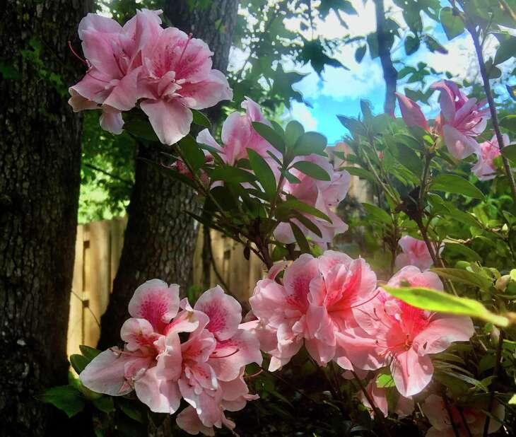 'Autumn Belle' Encore azaleas