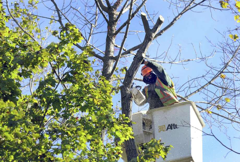 Gill Vieira of Danbury, an employee of Knapp Tree Service, takes down an ash tree near Huntington State park in Redding on Thursday. Photo: Carol Kaliff / Hearst Connecticut Media / The News-Times