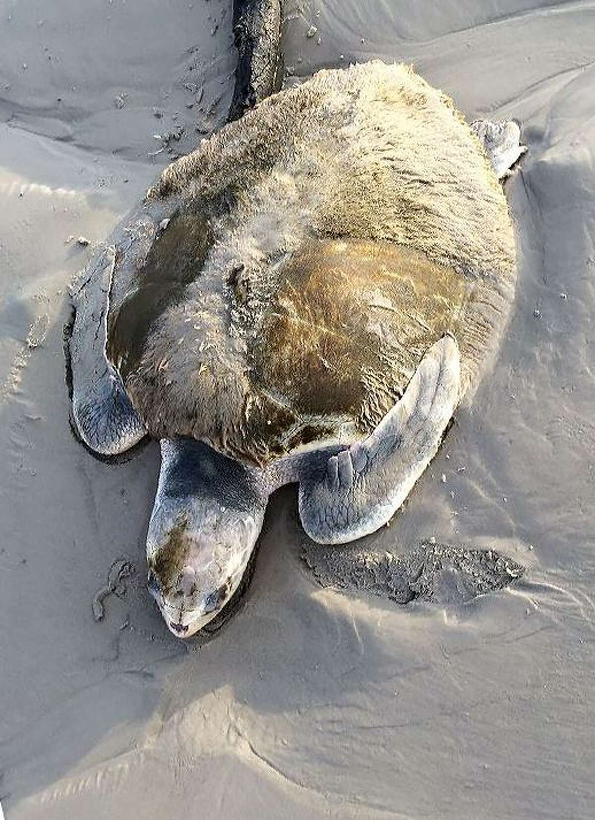 A sick sea turtle was stranded on the west side of Galveston's beach Oct. 9, 2018, covered in algae and barely conscious. After a NOAA Fisheries employee picked it up from the beach, the turtle was taken to the Houston Zoo for an exam and medical treatment. The turtle is now recovering at the National Oceanic and Atmospheric Administration's Galveston facility.
