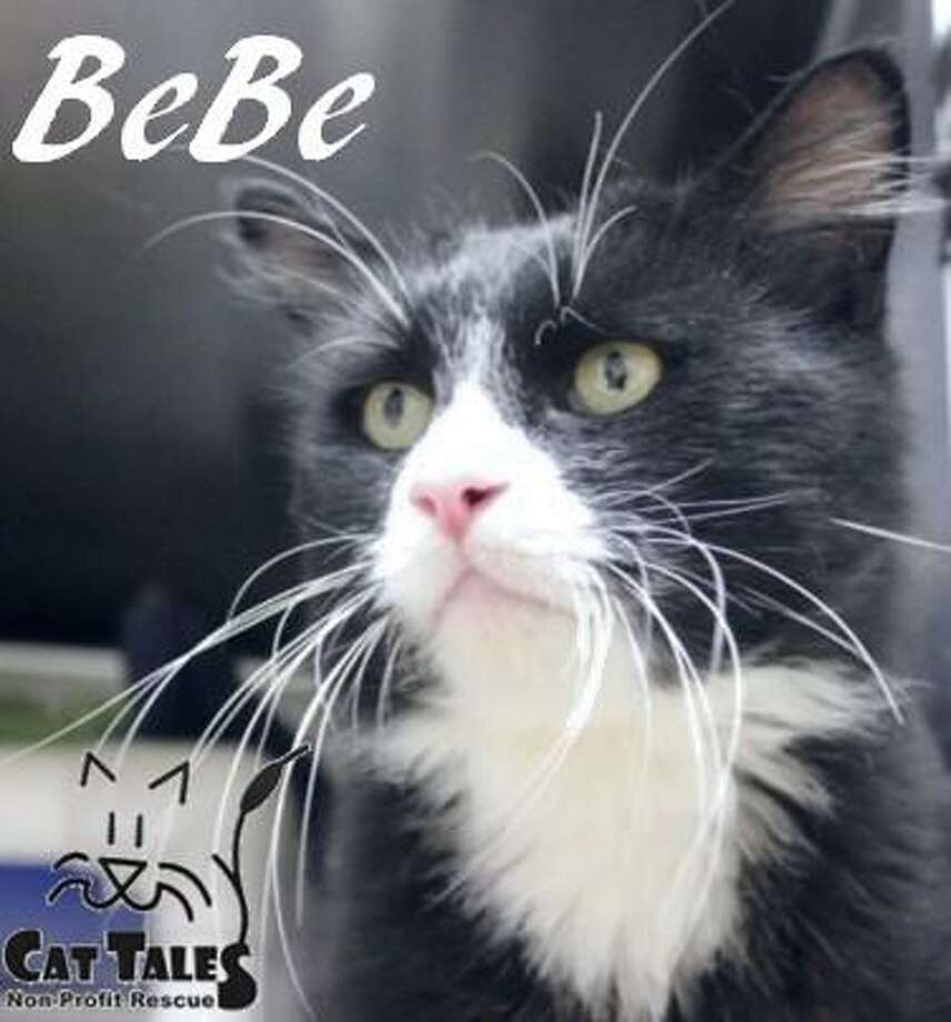 """BeBe is a sweet 1-year-old male, a black and white tuxedo. He says, """"I'm a very sweet, affectionate and cuddly kitty, love to be pet and I love attention. I'll curl up with you on the couch or in bed to snuggle with you. I do have a few dietary needs to keep me healthy. I'll be ready for adoption at the end of October. Don't wait! Come meet me and see what a wonderful buddy I can be and the joy I can bring to you."""" Visit http://www.CatTalesCT.org/cats/BeBe, call 860-344-9043, or email info@CatTalesCT.org. Watch our TV commercial: https://youtu.be/Y1MECIS4mIc Photo: Contributed Photo"""