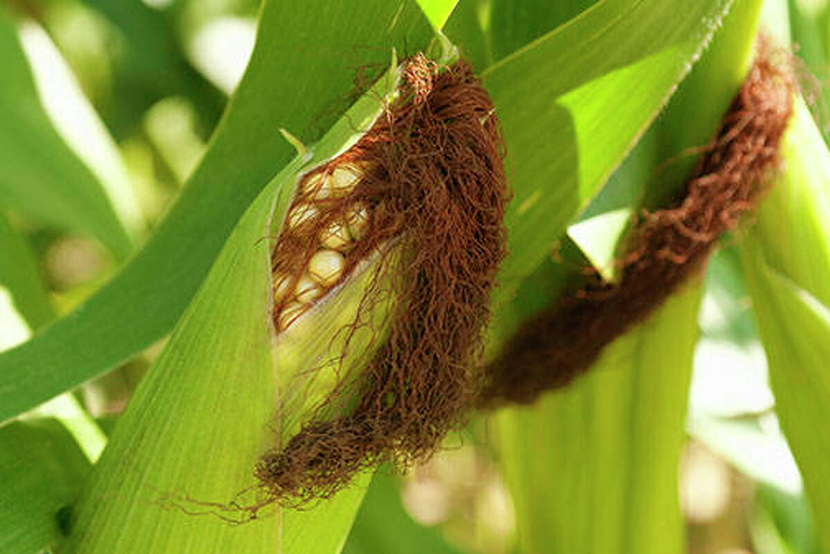 Thicker-Than-Normal Corn Husks. Source: Farmers' Almanac