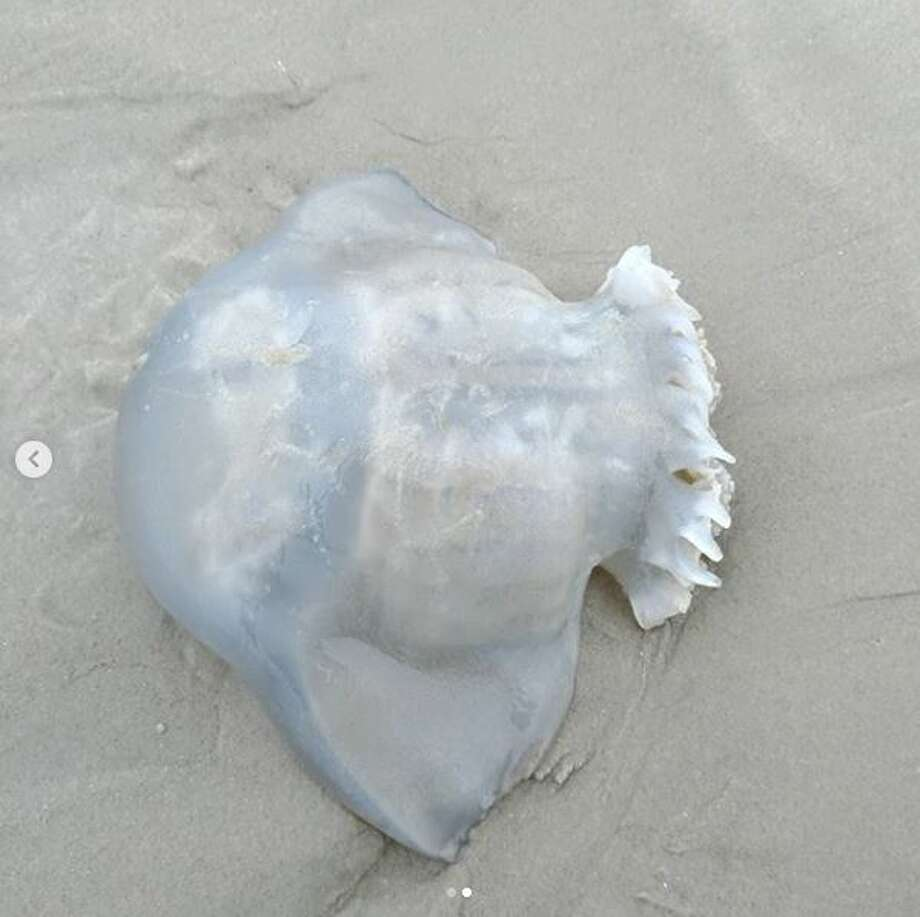 """The cabbagehead jellyfish is """"sometimes mistaken for a moon jelly, but it can be identified by its distinctive bell shape and lack of tentacles,"""" Padre Island National Seashore posted on Instagram in mid-October, 2018. """"It has short oral arms where its nematocysts (stinging cells) are located. They will sometimes, but rarely, cause a mild tingle when touched. The cabbagehead jelly is a favorite treat of leatherback sea turtles."""" Photo: Courtesy Of Padre Island National Seashore"""