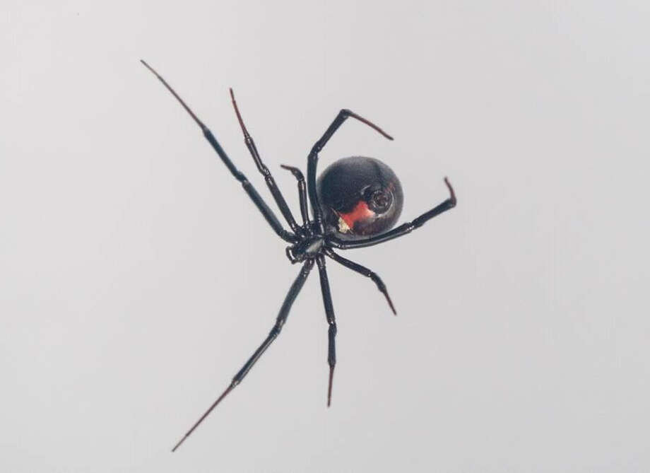 A black widow spider. Photo: Gregory Holland-San Diego State University / Handout