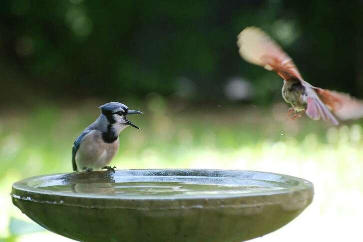 A blue jay squawks at a cardinal.