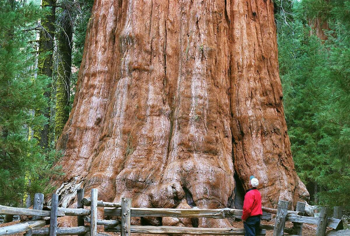 A visitor sizes up the General Sherman Tree, the world's largest living thing, in California's Sequoia National Park in 2002. (Ron Cobb/St. Louis Post-Dispatch/TNS)