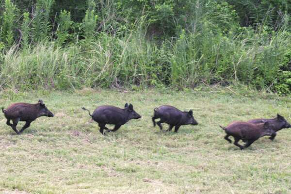 Chris Keller says feral hogs, such as these, have been running wild in the Stonecrest Ranch subdivision east of The Woodlands. Locals describe it as a hog epidemic and have been calling on officials to solve the problem, all to little avail. Keller estimates hes spent at least $5,000 fixing his lawn after multiple hog invasions.