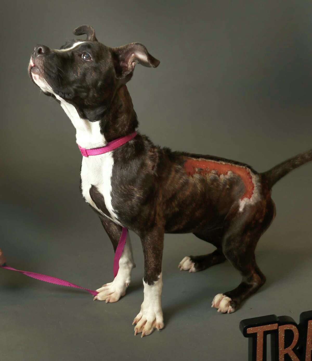 MARISSA (Animal ID: A520137) Marissa is a young, female, brindle/white, pit mull mix, who is so sweet, inspite of her serious injuries and is available for adoption from the Harris County Animal Shelter. Photographed on Tuesday, Oct. 23, 2018, in Houston.