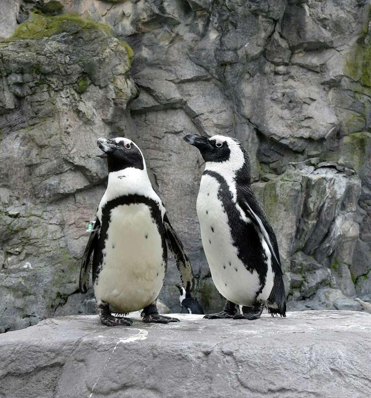 Penguins at mystic Aquarium in Mystic, Conn.