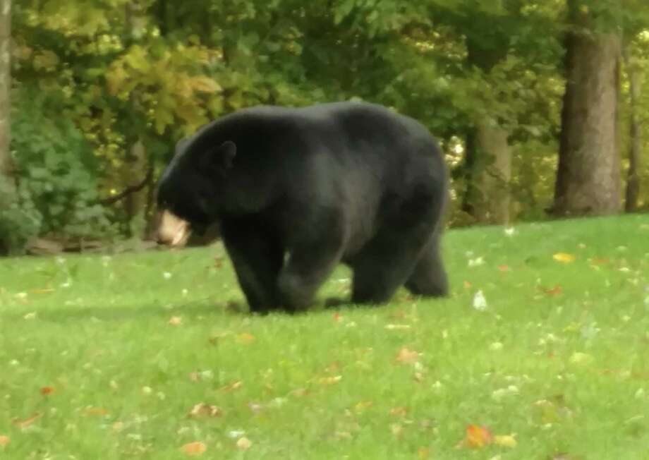 This very large bear was observed in the area of Still Hill Road and Post Falls Lane on Wednesday afternoon, Hamden police said. Photo: Courtesy Of Hamden PD