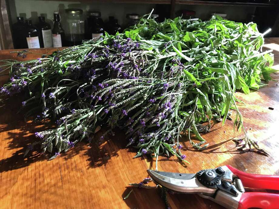 """Blue vervain, which Underground Alchemist's Rebecca Hein said is used to make a tincture """"for stress support."""" (Provided)"""