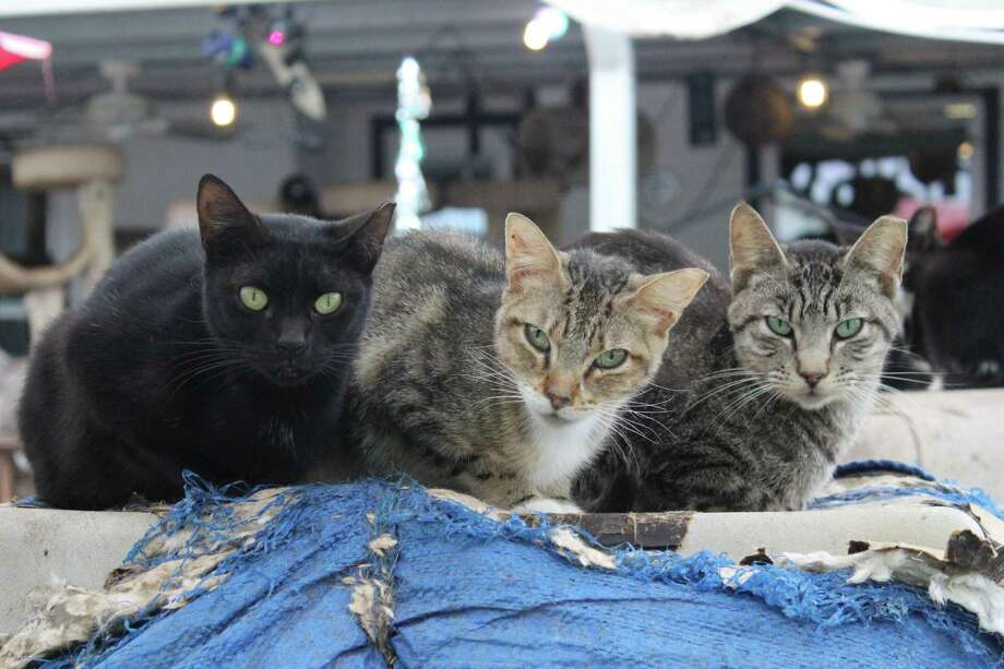 More than 200 cats found in bad living conditions were seized from a home in Spring in Octbober 2018. Photo: Submitted Photo, Houston SPCA / Submitted Photo / Houston SPCA