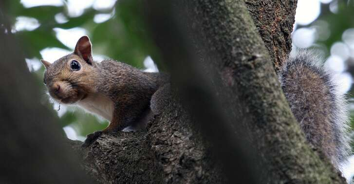 "Gray squirrels - ""cat ""squirrels to the generations of East Texans who learned and developed hunting skills and woodscraft while pursuing the highly mobile, wary arboreal rodents - have been replaced by whitetail deer as the most popular game animals in the state's Pineywoods region."