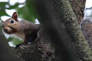 """Gray squirrels - """"cat """"squirrels to the generations of East Texans who learned and developed hunting skills and woodscraft while pursuing the highly mobile, wary arboreal rodents - have been replaced by whitetail deer as the most popular game animals in the state's Pineywoods region."""